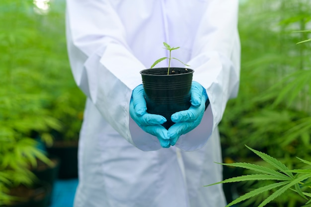 科学者は合法化された農場で大麻の苗木を持っています。