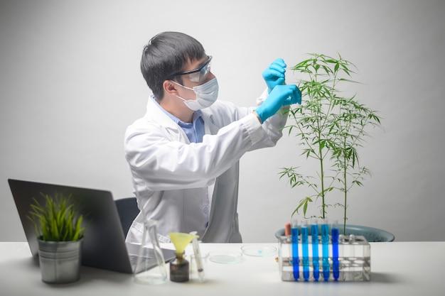 과학자가 대마초 사티 바를 계획에 맞게 트리밍하고 있습니다.