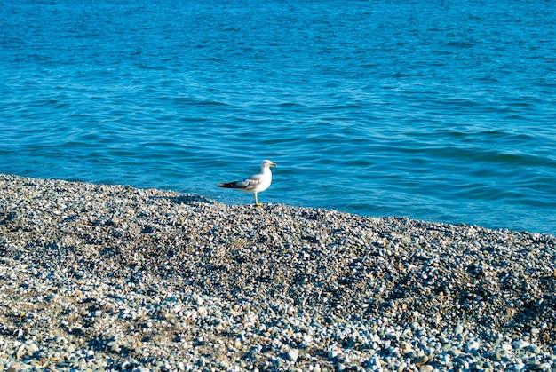 Чайка сидит на гальке на фоне бирюзово-голубого черного моря абхазия