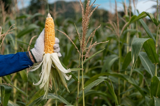Изображение селективного фокуса удара мозоли в органическом кукурузном поле.