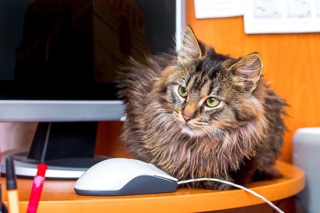 Серьезная пушистая кошка в офисе рядом с компьютером и мышью.