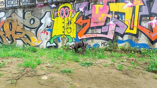 Серьезный породистый американский стаффордширский терьер писает на стену с граффити