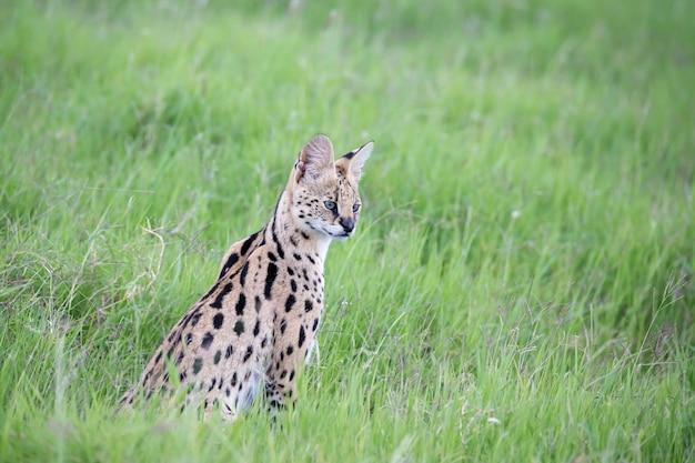 사바나 초원의 살쾡이 고양이