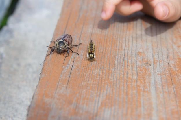 얽히고 설킨 검은 애벌레와 5월 딱정벌레가 나무가 우거진 판자 위를 기어다닌다