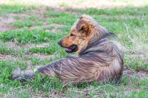 毛むくじゃらの犬が草の上に横たわり、脇を向いています_