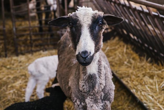 Овца и две ягнята бок о бок в сарае. белая и черная баранина. милые ягнята.