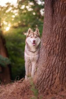 Сибирский хаски летом стоит возле дерева
