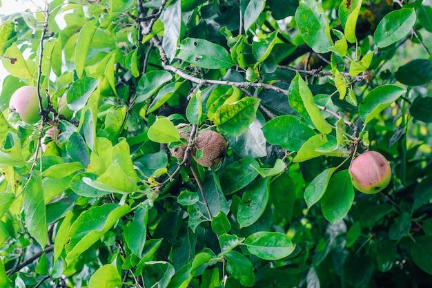 枝に病変の明らかな兆候が見られる病気のリンゴ