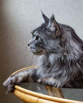 Серебристый кот мейн-кун лежит на балконе и смотрит в окно портрет кота уход за домашними животными