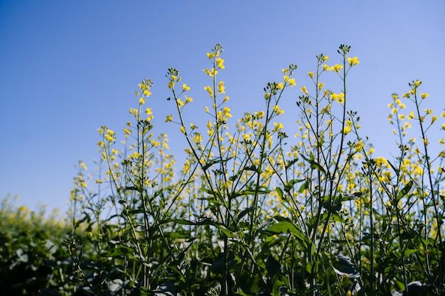 春に咲く菜種、咲く菜種、黄色の花の単一の枝