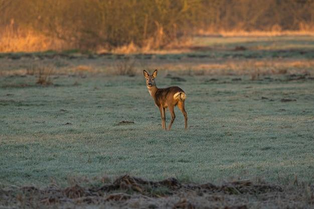 凍った牧草地に1頭の鹿が立っている