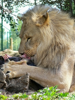 食べる雄ライオン1頭
