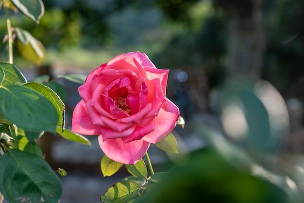 シンプルな背景の単一の開いた赤いバラ