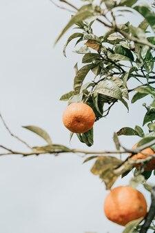 Одиночный апельсин, свисающий с дерева, на фоне ясного неба.