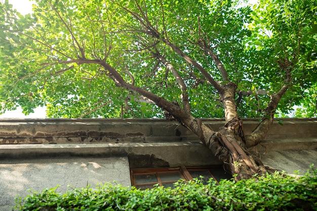 窓と格子のある古代の石壁の外側に生えている一本の木