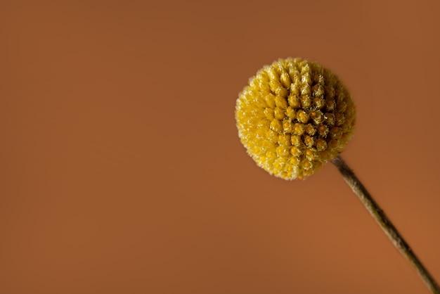 コピースペースと茶色の背景に単一の黄色のクラスペディアの花。クラスペディアは、ビリーボタン、ウーリーヘッド、およびサニーボールの側面図として一般に知られているデイジーファミリーに属しています。