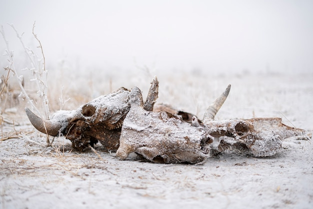 死んだ牛と雄牛の頭蓋骨と骨は、冬の怖い恐怖と恐怖の概念を抽象化します
