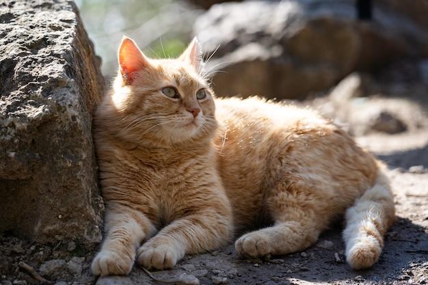 眠そうな生姜猫は、猫が怠惰なペットを日光浴している石の上に横たわっています