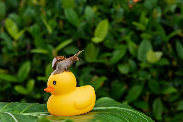 Маленькая ахатинская улитка сидит на вершине желтой маленькой резиновой утки, позируя на зеленом листе среди зеленой влажной листвы.