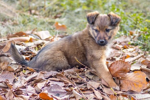 小さくて美しい茶色の子犬が秋に庭の乾いた葉の上に座っています_