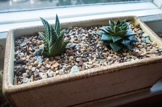 작은 아름다운 관엽식물이 돌밭의 창턱에 있는 화분에서 자랍니다.