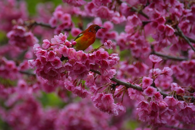Маленькая хитрая птичка, нектар цветущей сакуры, розовая на высоком этаже, цветущая в анг кханге в чиангмае, на севере таиланда.