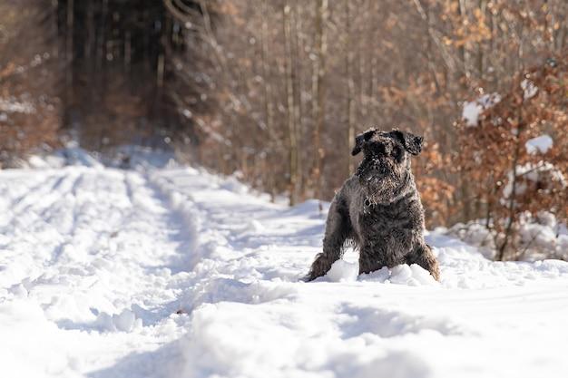 겨울 눈 덮인 숲을 걷는 작은 검은 개.