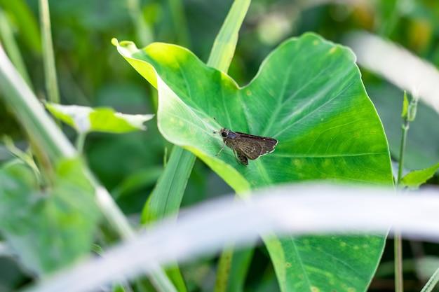 정글에서 타로 잎에 앉아 작은 갈색 나비