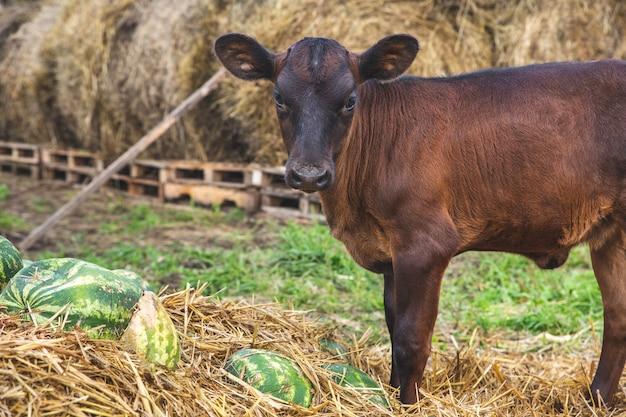작은 갈색 송아지가 건초 더미와 수박 더미 근처에 서서 카메라를 들여다 봅니다. 가축, 농장 생활.