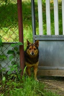 В калитку в заборе заглядывает маленькая коричневая собачка. забор зарос травой