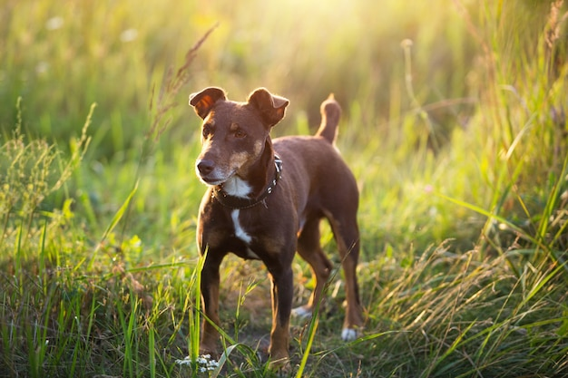 小さな茶色のテリア犬が、草の中や夏の日差しの中で首輪をつけて歩きます。自然界の犬、ジャックラッセルテリアの肖像画
