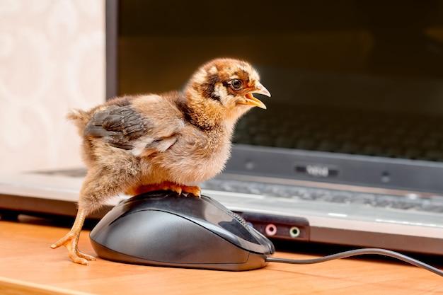 Маленький цыпленок нажимает кнопку компьютерной мыши. работа в офисе за компьютером_
