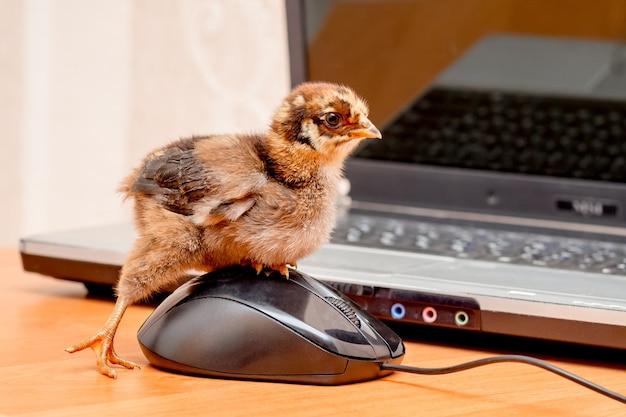 Маленькая цыпочка нажимает на кнопку компьютерной мыши_
