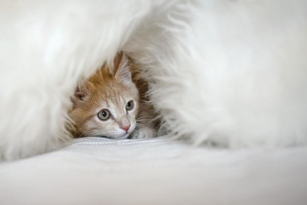 小さな臆病な子猫が白い毛皮の避難所に隠れています