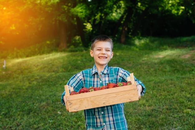 小さなかわいい男の子は、熟したおいしいイチゴの大きな箱を持って立っています。収穫。熟したイチゴ。ナチュラルで美味しいベリー。