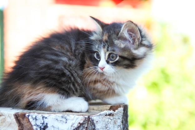 작고 귀여운 삼색 고양이가 자작나무 통나무에서 밖을 내다보고 있습니다. 프리미엄 사진