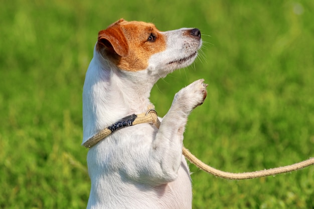 ひもにつないでいる小型犬種のパーソンラッセルテリアは、後ろ足で立っています。散歩中に公園で犬
