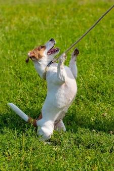 ひもにつないでいる小型犬種のパーソンラッセルテリアが後ろ足で立っている