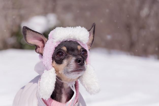 작은 개는 겨울 모자에 그 테리어를 낳습니다.