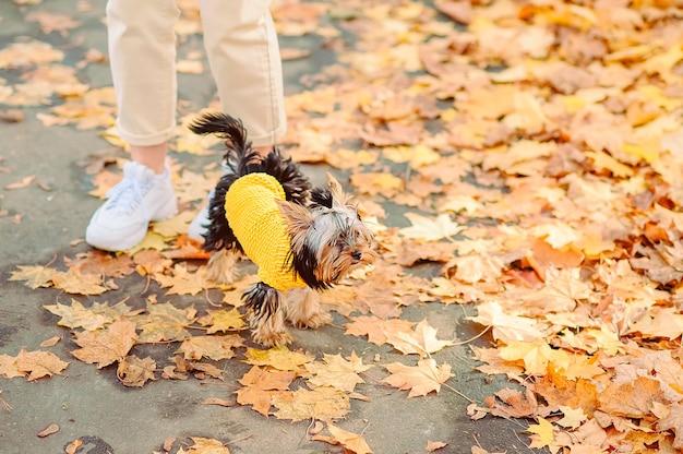 가을 옷을 입은 작은 개가 가을 공원에서 여주인의 발 근처를 걷습니다.