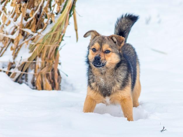 雪の中の小さな犬が農場を守っています_