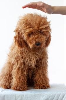 小さな犬のミニチュアプードル赤茶色は彼の頭の上に女の子の手で白い表面に座っています