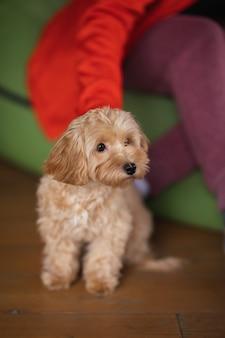 Maltipu 품종의 작은 개는 여주인의 발치에 앉는다