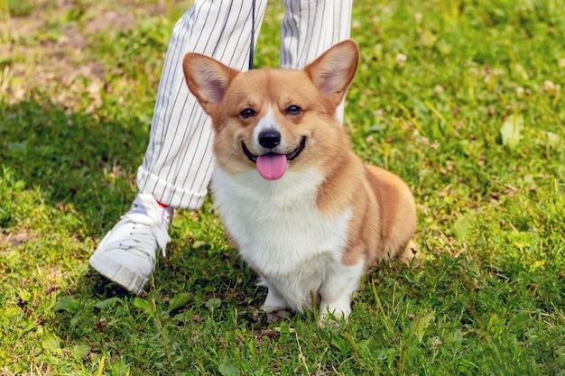 Маленькая собачка породы вельш-корги сидит у ног своей хозяйки. женщина на прогулке с собакой