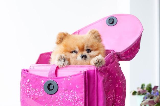ピンクのランドセルに小さな犬のオレンジ色のポメラニアンが座っています。