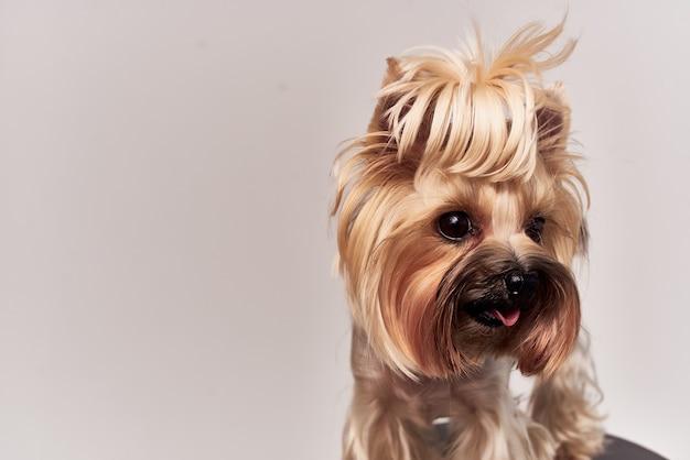 Маленькая собака щенок груминг изолированный фон
