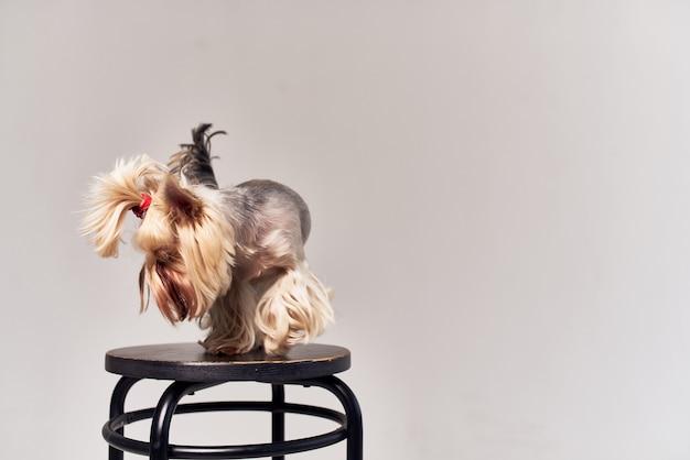 小型犬ヨークシャーテリアポーズスタジオ