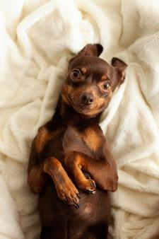 飼い慣らされた小型の飼い犬で、茶色で、明るい毛布の上にあり、甘くて怠zyです