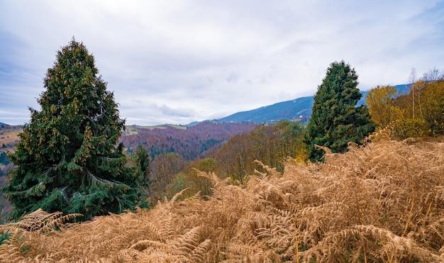 카르파티아 산맥의 화려한 가문비나무 숲이 있는 언덕의 배경에 야생 마른 풀이 있는 작은 들판