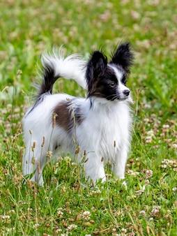白、黒、茶色の毛皮を持つ小さなふわふわの犬が散歩中に芝生の上の公園に立っています Premium写真